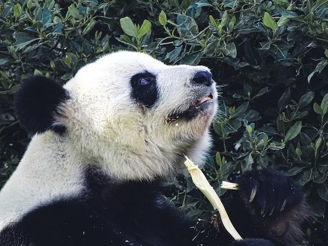 笹を食べる嬉しそうな顔のジャイアントパンダ